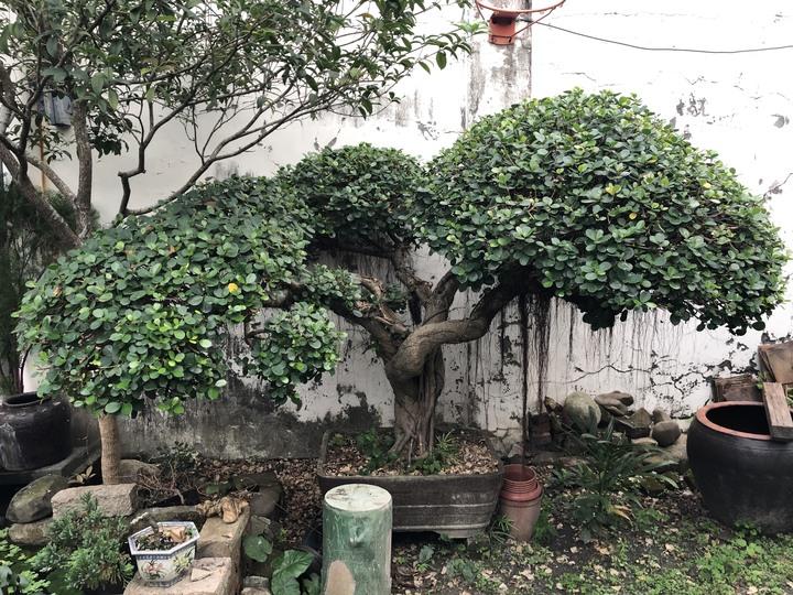50年以上盆栽老榕樹(圓葉)